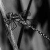 0061 dragonfly At wetland trust 3 mono