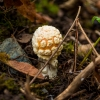 Amanita Muscaria - Newly Budding