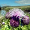 Thistle O The Doon