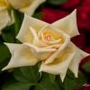 Stinky Rose