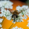 Springing Bee