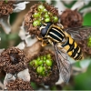 Hoverfly On Blackberry Bush