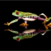 Red Eyed Tree Frog Reflection