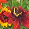 Papillon Sur fleur Banff 50