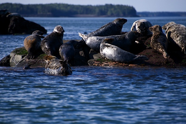 Harbour seals