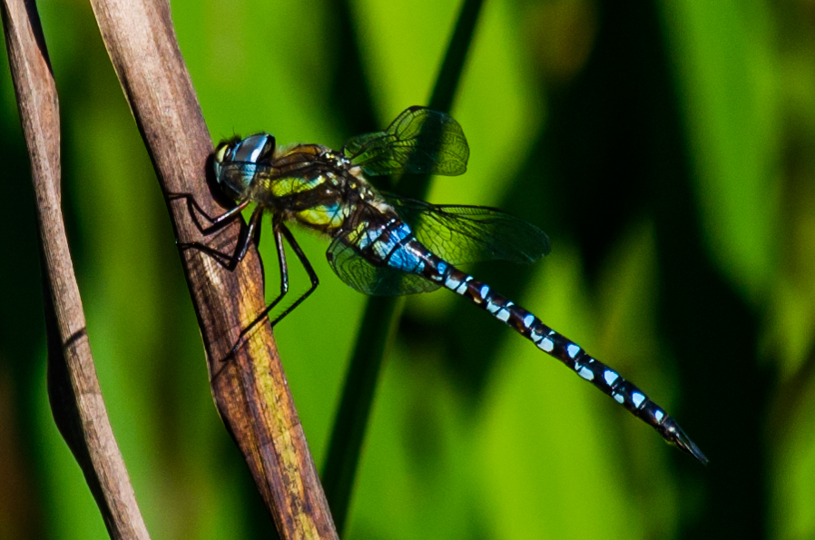 0060 dragonfly At wetland trust 2