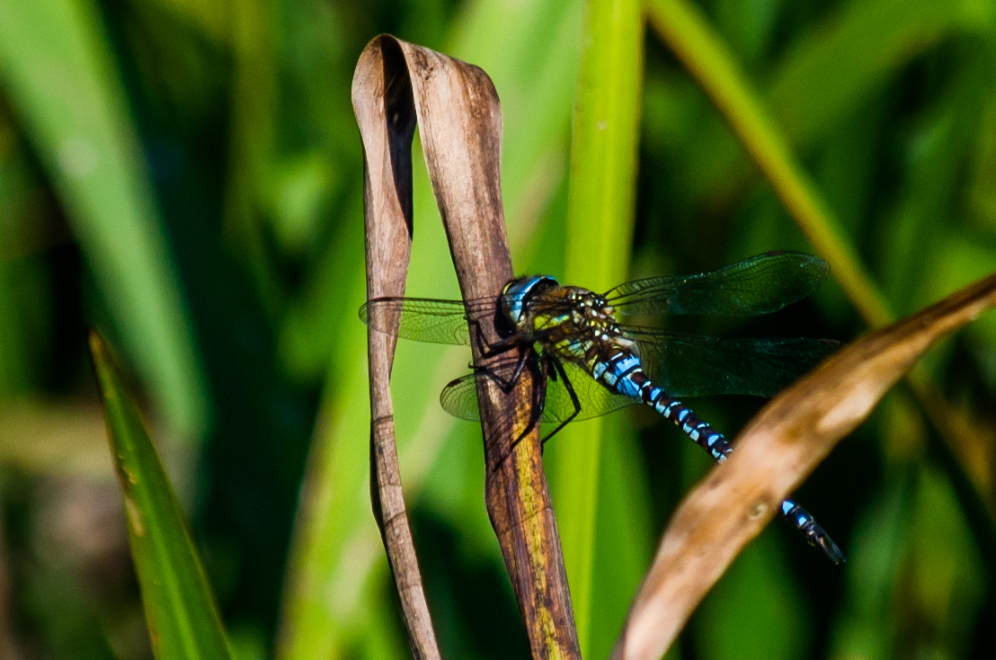 0062 dragonfly At wetland trust 4