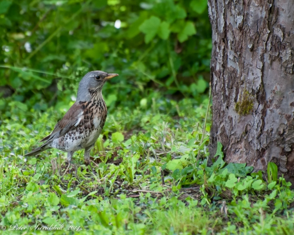 Thrush_listening_for_worms