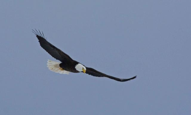 mature eagle 1