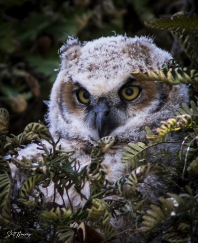 Great Horned Owl (Bubo virginianus) Chick