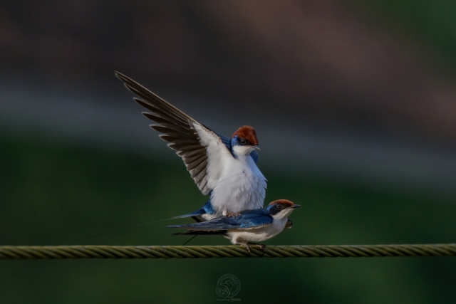 Wire Tail Swallow