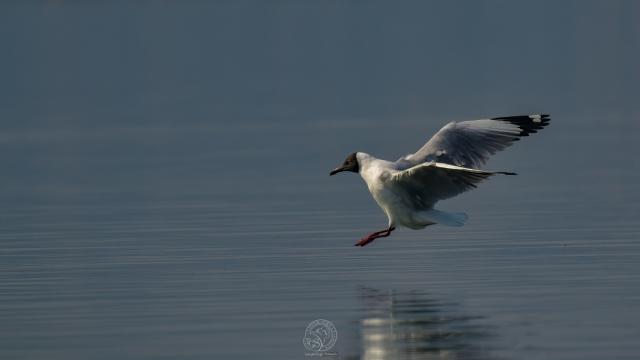 Brown Headed Gull
