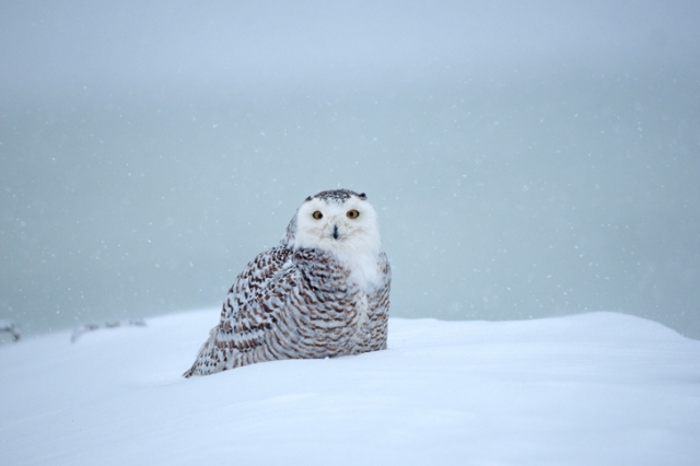 1Mb Snowy Owl during A snowstorm
