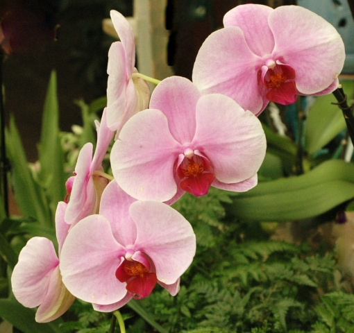 Three Orchids.  In the Pink