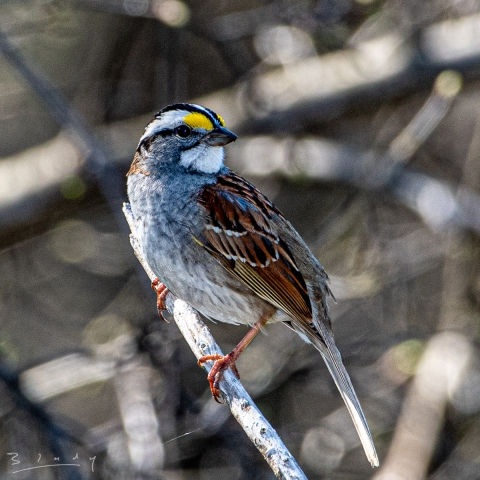 White Throated Sparrow.