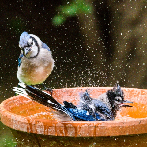 Blue Jays in the bath.
