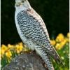 Hybrid Gyr Saker Falcon
