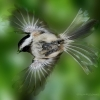 Chickadee BIF 1