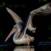 Spot Bill Pelican