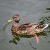 Mrs Duck on Canyon Lake