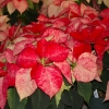 IMGP0688 Lovely Poinsettias