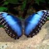 Blue Morfo