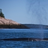 Bay of Fundy whale