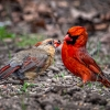 Male And female Cardinals  20210420