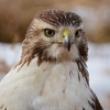 Red Tail (3 Of 9)