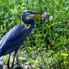 Blue Heron with Bluegill