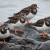 Turnstones   (Arenaria interpres)
