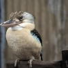 Kevin the Kookaburra