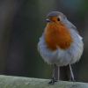 Fluffed Up Robin