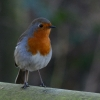 Mr Robin Redbreast