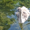 Swimming Signet