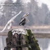 Do Not Mess with the Blue Heron
