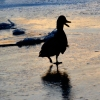 Duck that quacks