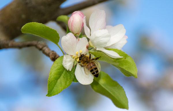 Honeybee Doing His Thing!