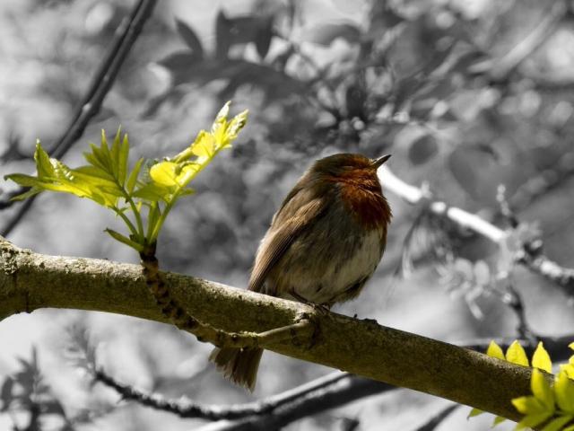 The lone Robin