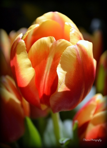 Mothers Day Tulip