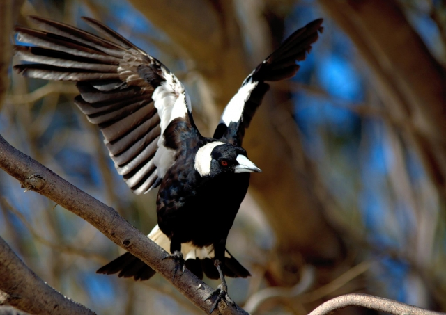 scary magpie