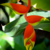 heliconia inflorescence