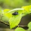 Godmanchester Fly