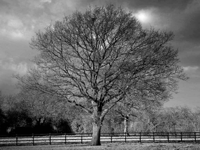 A Tree In Cheshire