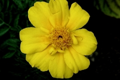 Awesome Yellow Flower