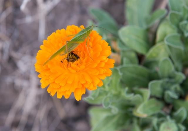 Grasshopper on orange flower