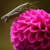 Dahlia & the Grasshopper