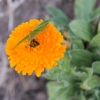 Grasshopper on orange flower