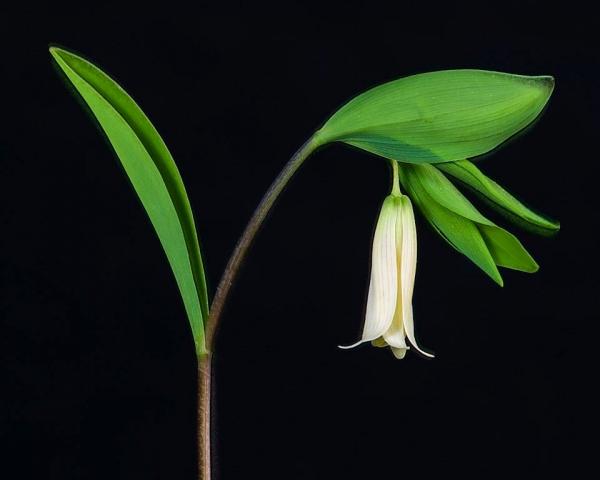 Uvularia sessilifolia - Wild Oats/Sessile-leaved Bellwort