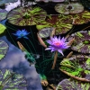 TRF Water Lily